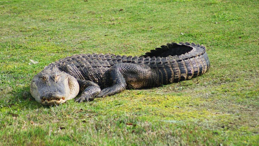 American Alligator by Wayne Musholt