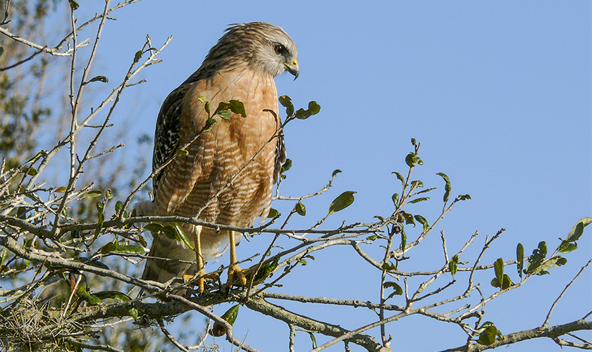 Red Shouldered Hawk by Gayle Fischer