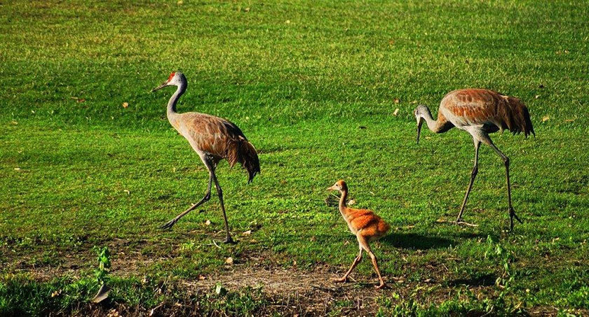 Sandhill Crane Family by Wayne Musholt