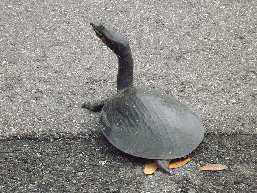 Florida Softshell Turtle by Kathy Ritchie