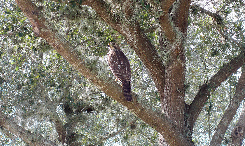 Red Tailed Hawk by Dana Phillips
