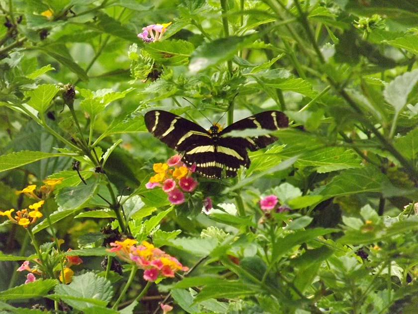 State Butterfly - Zebra Longwing by Kathy Ritchie